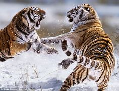 Tooth and claw: Steve Bloom's 'Conflict' series shows two Siberian tigers fighting in northern China.