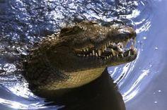 Crocodile Basic Facts