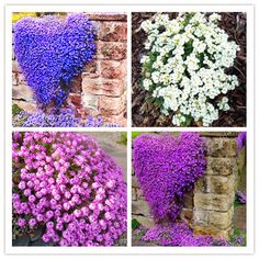 100PCS Creeping Thyme Seeds Flower Seeds Roce Cress Ground Seeds Carpet Evergreen Plant Easy To Grow For Garden Lawn