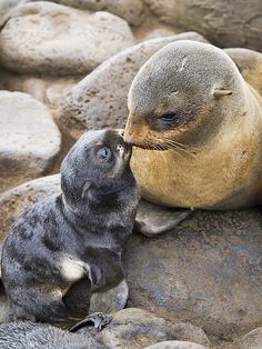 Northern Fur Seal and pup, St. Paul Island, Alaska; photo by John Gibbens