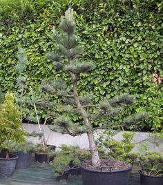 black pine niwaki - structure pruning - 1st year