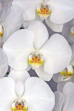 phalaenopsis orchid - white