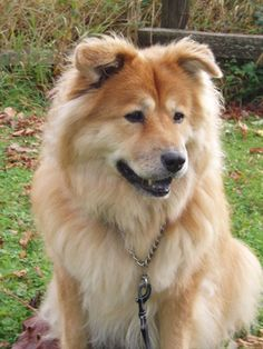 Finnish Spitz Lab mix (With images)   Unique dog breeds ...  Finnish Spitz Lab Mix