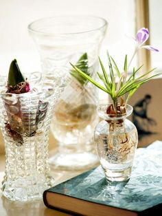 How to Force Hyacinth Bulbs in a Vase. I'm also putting my Amaryllis bulbs in water and the blooms are awesome!