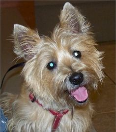 Col. Potter Cairn Rescue Network: Tumbleweed  - Adopted!  more cairns need homes at cairnrescue.com