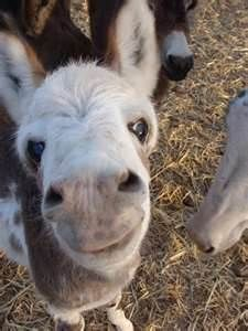 miniture donkey---I have come to the conclusion they are the cutest animals alive. Visit our page here: http://what-do-animals-eat.com/donkeys/