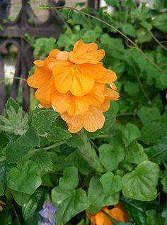 Crossandra infundibuliformis Summer Candle1.jpg   Taikurinkukka