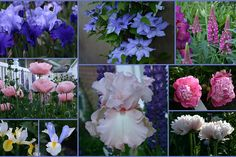 Sowing the Seeds: TALL BEARDED IRIS AND COMPANION PLANTS, PART III