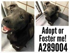SAN ANTONIO TX - PAST DUE** NEEDS OUT 4/17 ASAP. 289004 Miranda- This sweet baby is so pretty and quiet and observant in the kennels. It would be easy to overlook such a polite girl. She loves to snuggle and will be a great best furever girl! To adopt, foster/ rescue email: placement@sanantoniopetsalive.org https://www.facebook.com/photo.php?fbid=449529825149541&set=a.450780018357855.1073742393.236899813079211&type=1&theater