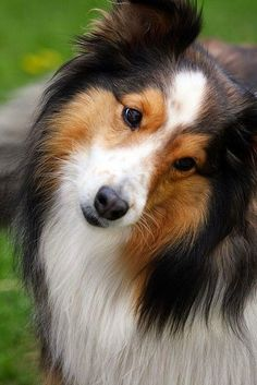 Collie This is not a collie, but a Shetland Sheepdog or Sheltie. Rough or Smooth Collies are much larger with long elegant noses. Although shelties and collies share some breed characteristics they are two separate breeds. Loyal Dog Breeds, Smartest Dog Breeds, Loyal Dogs, Beautiful Dogs, Animals Beautiful, Cute Animals, Baby Animals, Cute Puppies, Cute Dogs