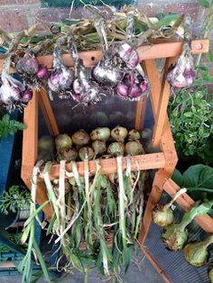 Over the last few weeks I've been harvesting the Radar Onions I've been growing since October last year. Harvest Onions, Daughters, To My Daughter, Asparagus, Balcony, Garlic, Fruit, Vegetables, Studs