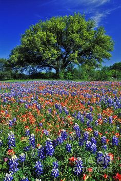 Paintbrush and bluebonnets ~ Marble Falls, Texas