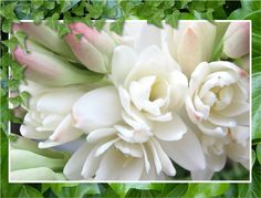 Roberta's Tuberose produce pure white flowers, with one of the most richly scented fragrances of any flower in the world. Their perfume oil is one of the most sought after in the perfume industry. They make great cut flowers and bouquets. Cut Flowers, White Flowers, Beautiful Flowers, Hair Flowers, Oxalis Triangularis, Purple Shamrock, Easy To Grow Bulbs, Bulbs For Sale, Moon Garden