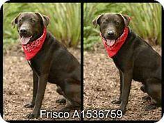 San Pedro, CA - Labrador Retriever. Meet ROCO, a dog for adoption. http://www.adoptapet.com/pet/13614365-san-pedro-california-labrador-retriever