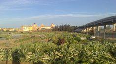 Ya estamos disfrutando en huertosalboraia de tardes largas, nuestros cultivos se bañan de sol durante mas de 12 horas de sol. Esto favorece el crecimiento de todos los cultivos de verano y empobrece los de invierno.