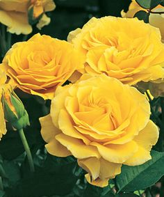 Love this Live Doris Day Rose Plant on #zulily by Weeks Roses, $15 !!  #zulilyfinds