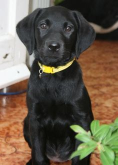 Black Lab Puppies, Cute Puppies, Cute Dogs, Dogs And Puppies, Doggies, Corgi Puppies, Black Puppy, Labrador Puppies, Bull Terriers