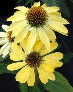 Echinacea Sunrise 'Sunrise' Big Sky™ (full sun or morning sun, afternoon shade) Yellow Flowers, Beautiful Flowers, North Creek, Daisy Field, Front Yard Design, Border Plants, Plant Catalogs, Foliage Plants, Flowers Perennials