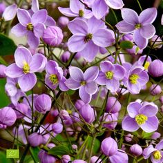 Tall perennial with small, lobed leaves in an open, airy form Blooms heavily with tiny purple flowers .