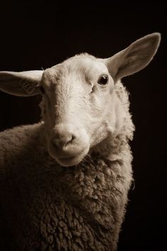 """Title unknown from the """"Chattel: Ungulate neighbors on and around Whidbey Island, Washington"""" series by American photographer Kevin Horan. via the artist's site. Farm Animals, Animals And Pets, Cute Animals, Beautiful Creatures, Animals Beautiful, Romney Sheep, Sheep Art, Sheep Wool, Sheep And Lamb"""