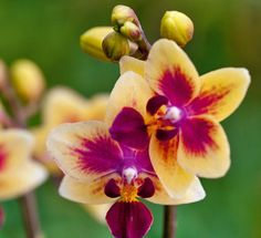 Phalaenopsis Orchid, Butterfly, Plants, Growing Up, Orchids, Garten, Flora, Bowties, Plant