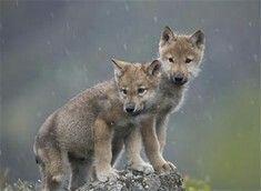 Wolf xx