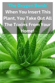 Oxygen bomb- Aloe plant
