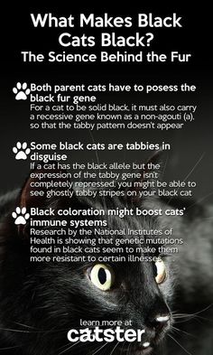 6 Interesting Infographics You Need To Read On Black Cat Awareness Month - Cats/Pets - Katzen Crazy Cat Lady, Crazy Cats, I Love Cats, Cool Cats, Black Cat Appreciation Day, Catty Noir, Cat Info, Gatos Cats, Here Kitty Kitty