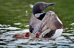 loons bird - Google Search