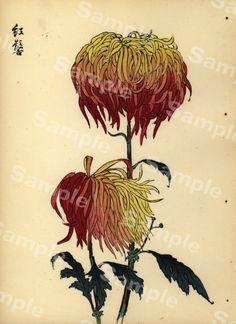 Chrysanthemum Flowers by Keika Hasegawa Japanese Chrysanthemum, Chrysanthemum Flower, Japanese Flowers, Vintage Botanical Prints, Antique Prints, Botanical Art, Illustration Botanique, Illustration Art, Impressions Botaniques