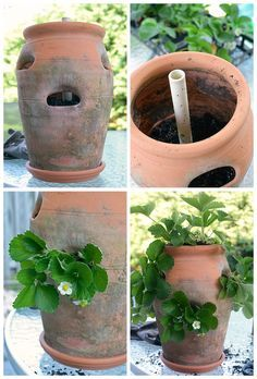 How To Grow Strawberries in a Planter Pot - Modern Design Types Of Strawberries, Growing Strawberries In Containers, Growing Tomatoes In Containers, Strawberry Planters, Strawberry Garden, Tomato Seedlings, Container Flowers, Organic Vegetables, Regrow Vegetables
