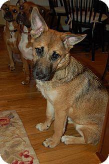 Greensboro, NC - German Shepherd Dog Mix. Meet Rocky a Dog for Adoption.