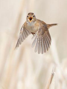 Sedge Wren Calling In-flight by Jeff Dyck