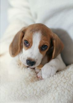 Are you interested in a Beagle? Well, the Beagle is one of the few popular dogs that will adapt much faster to any home. Whether you have a large family, p Cute Beagles, Cute Puppies, Cute Dogs, Dogs And Puppies, Doggies, Fun Dog, Dog Wallpaper Iphone, Retina Wallpaper, Apple Wallpaper