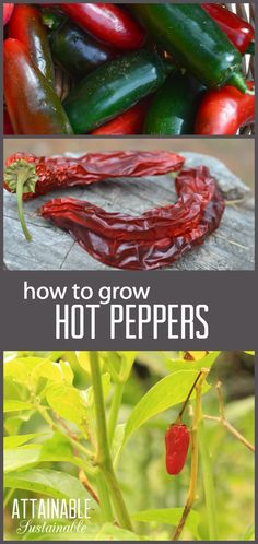 Hot peppers, from the Capsicum family, are the International Herb of the year for 2016 and come in a large range of shapes, colors, and spiciness. They're easy to grow in the home garden - click through to find out how!