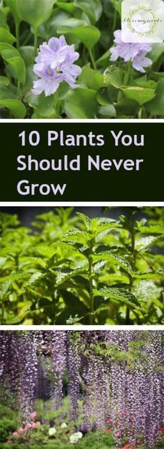 Invasive Plants, Plants You Should Never Grow, Gardening, Gardening Tips and Tricks, Planting, Landscaping, Landscaping Tips and Tricks, Home and Yard