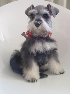 What an adorable salt and proper mini Schnauzer puppy, so sweet❤️