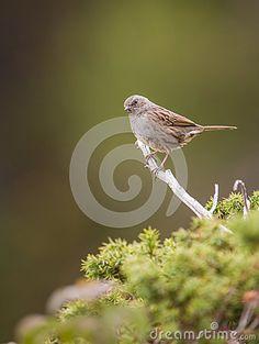 Dunnock bird