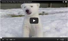 Image result for newborn baby polar bear