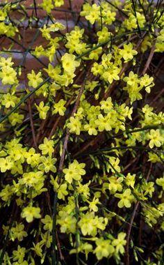 Wenn sich andere Frühblüher noch bitten lassen, zeigt der gelbe Winter-Jasmin schon seine prächtigen Blüten. Was Sie bei der Pflanzung und Pflege beachten sollten, erfahren Sie hier.