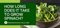 Growing spinach at home is actually very easy. Here is a beginner's guide on How Long Does It Take To Grow spinach in your own backyard. Planting Spinach, Growing Spinach, Spinach Leaves, Liquid Fertilizer, Organic Fertilizer, Compost Tea, Big Leaves, University Of Arizona