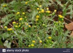 Image result for senecio vulgaris