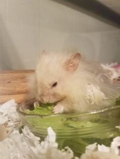 My old man enjoying some romaine lettuce :) Hamsters, Old Men, Lettuce, Pets, Animals, Animaux, Animal, Animales, Salad