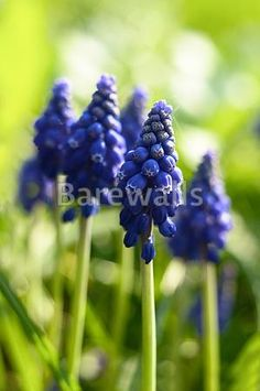 """Small blue flowers at spring closeup photo"" - Flower Posters and Prints Available at Barewalls.com"