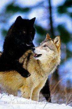 Beautiful black wolf and a white wolf