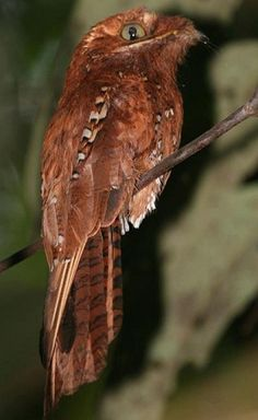 Rufous Potoo (Nyctibiidae family). Potoos or Patoo birds, are sometimes called Poor-me-ones, after their haunting calls & are related to the nightjars & frogmouths. These are nocturnal insectivores which lack the bristles around the mouth found in the true nightjars. They hunt from a perch like a shrike or flycatcher. During the day they perch upright on tree stumps, camouflaged to look like part of the stump. The single spotted egg is laid directly on the top of a stump.