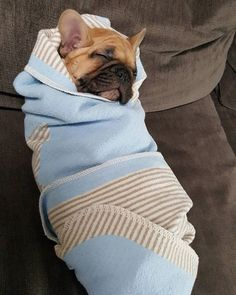 """My mom thinks I'm a human baby"", French Bulldog Puppy, #bulldog #frenchbulldog…                                                                                                                                                                                 More"
