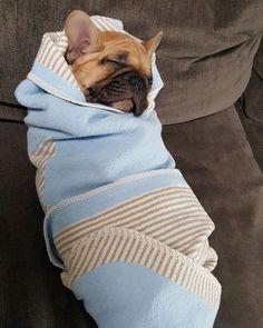 """My mom thinks I'm a human baby"", French Bulldog Puppy, #bulldog #frenchbulldog…"