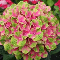 Hydrangea Magical Amethyst  Produces giant spherical flower heads that open lime green that change to pink then back to soft green with pink edges. A really good flower to cut for a vase. The plants are very compact and reach only 80-90cm.