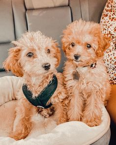 Mini Cockapoo, Cockapoo Puppies, Getting A Puppy, Teddy Bear, Dogs, Animals, Animales, Animaux, Teddy Bears